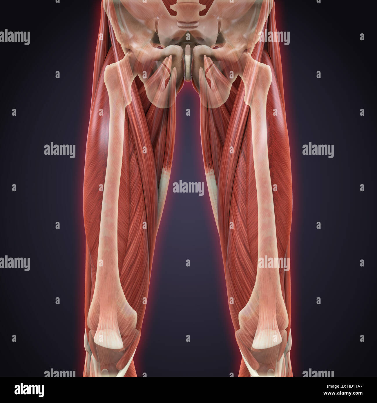 Thigh Adductor Muscles Stock Photos & Thigh Adductor Muscles Stock ...