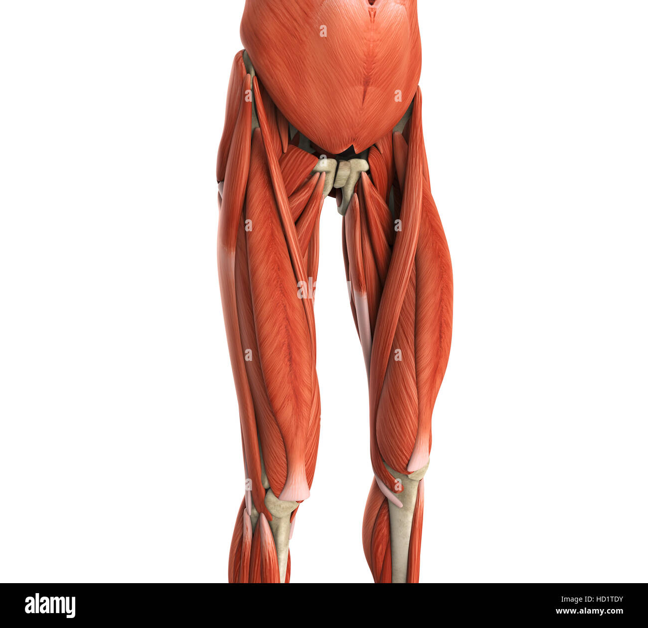 Upper Legs Muscles Anatomy Stock Photo: 128504263 - Alamy