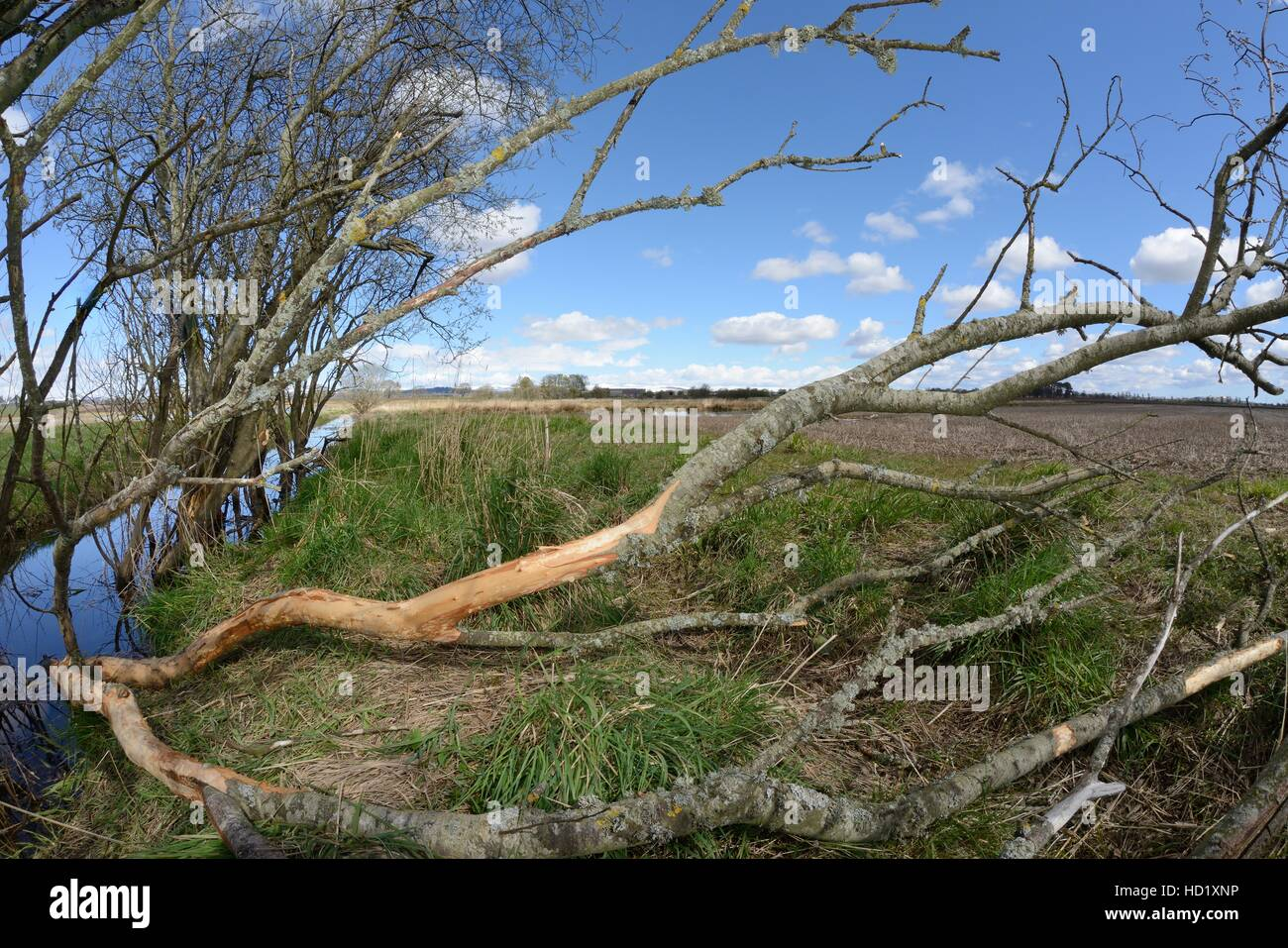 Willow tree (Salix sp.) felled and gnawed by Eurasian beavers (Castor fiber) lying across a drainage ditch, Tayside, - Stock Image
