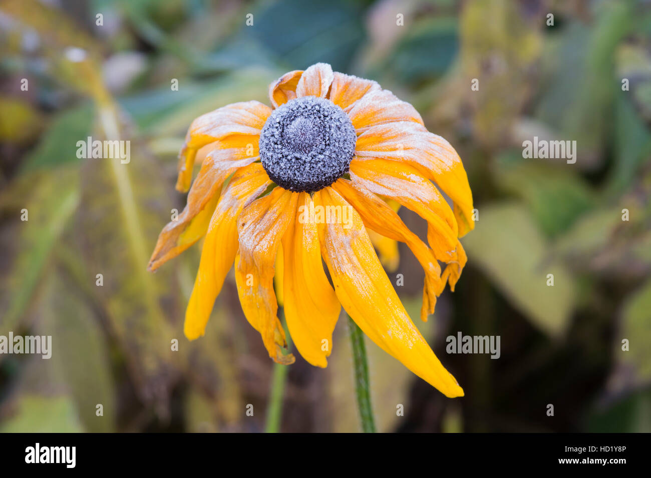 Rudbeckia flower covered in an autumn frost Stock Photo