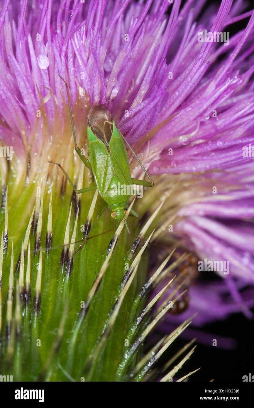 Grüne Distelwanze an einer Distelblüte, Calocoris affinis, Weichwanze, Weichwanzen, Blindwanzen, Miridae, - Stock Image