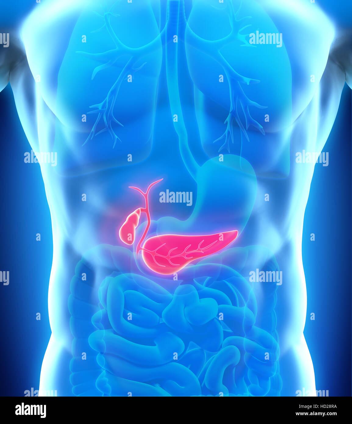 Human Gallbladder and Pancreas Anatomy Stock Photo: 128513934 - Alamy