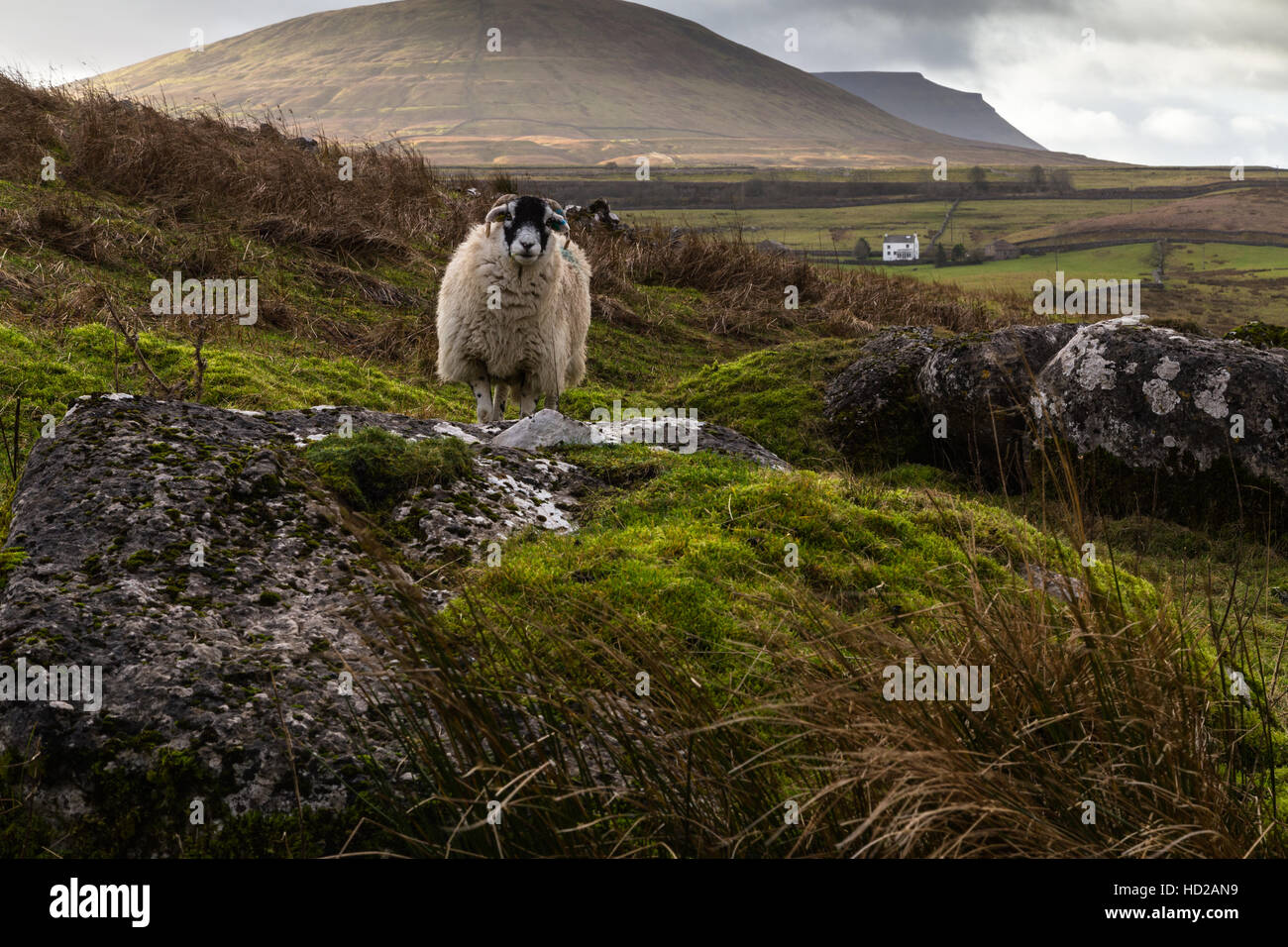 A sheep poses for its photo with Park Fell and Ingleborough beyond in the Yorkshire Dales Three Peaks, Ribblesdale, - Stock Image
