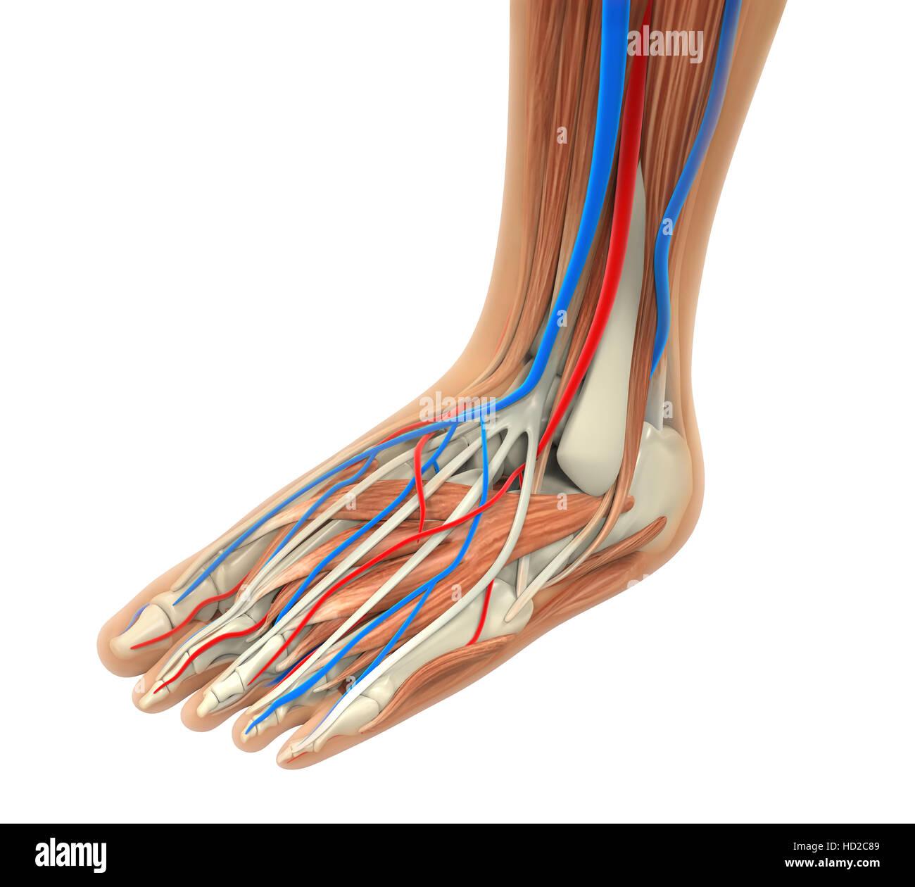 Human Foot Anatomy Stock Photo 128516649 Alamy
