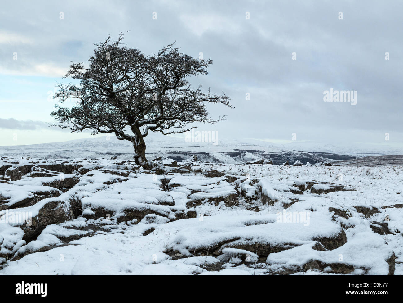 View of a Hawthorn tree growing among limestone pavement at Winskill near Langcliffe in the Yorkshire Dales National - Stock Image
