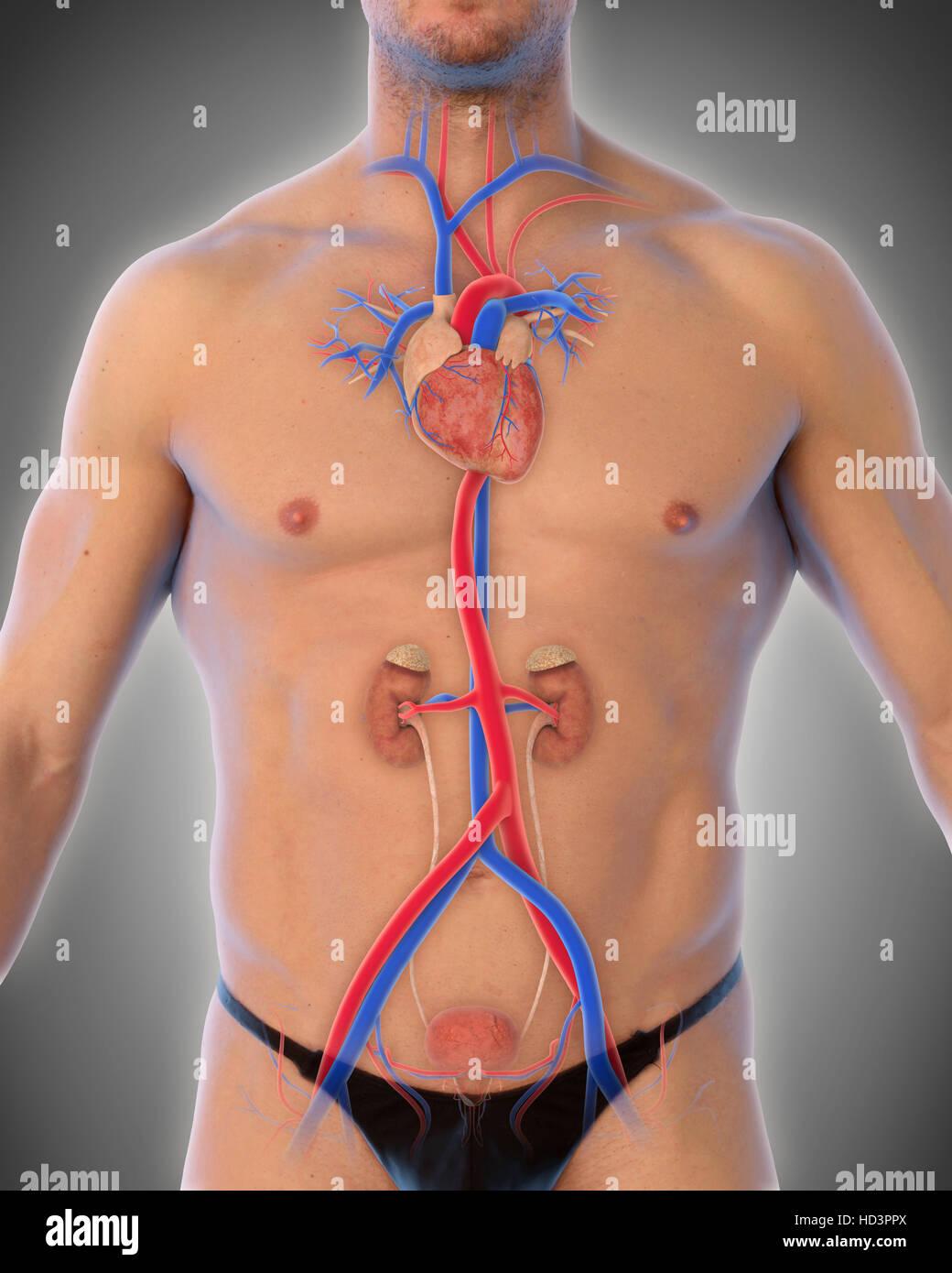 Human Thoracic Aorta - Stock Image