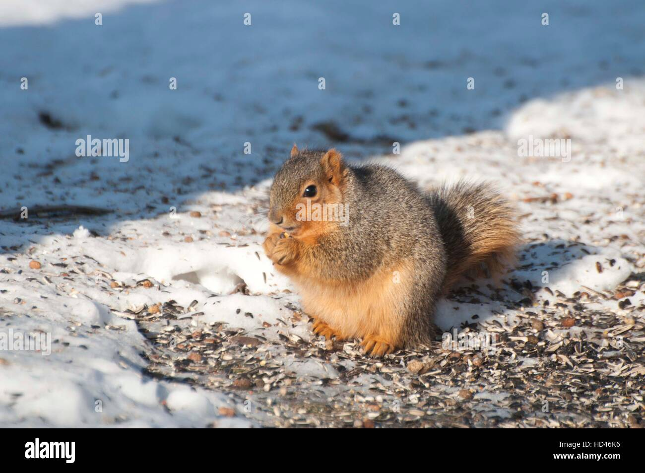 Fox squirrel sitting up on ice-covered ground Stock Photo