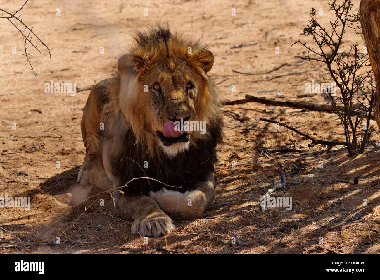 Male lion (Panthera leo) in Erindi Private Game Reserve near Omaruru, Erongo Region, Namibia Stock Photo
