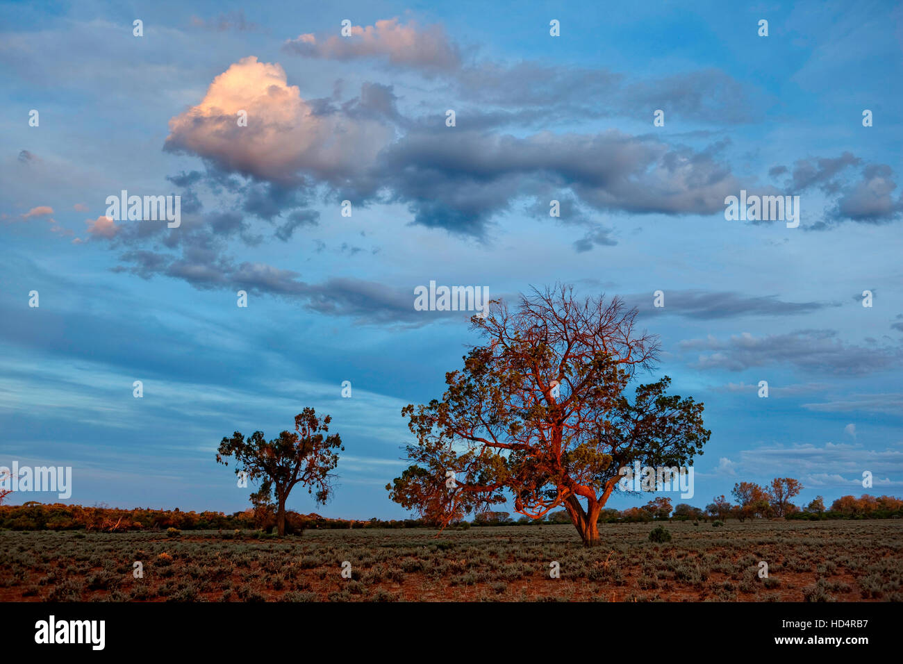Last rays of light falling on trees in semi-arid Australian outback country - Stock Image
