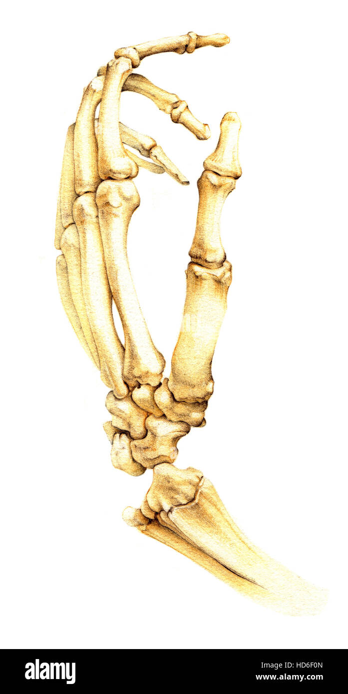 Hand Bones Cut Out Stock Images Pictures Alamy