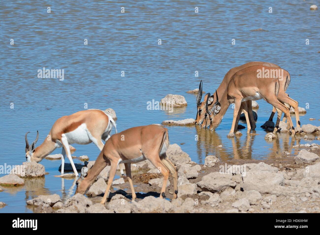 Four black-faced impalas (Aepyceros melampus petersi) and one springbok (Antidorcas marsupialis), drinking, Etosha Stock Photo