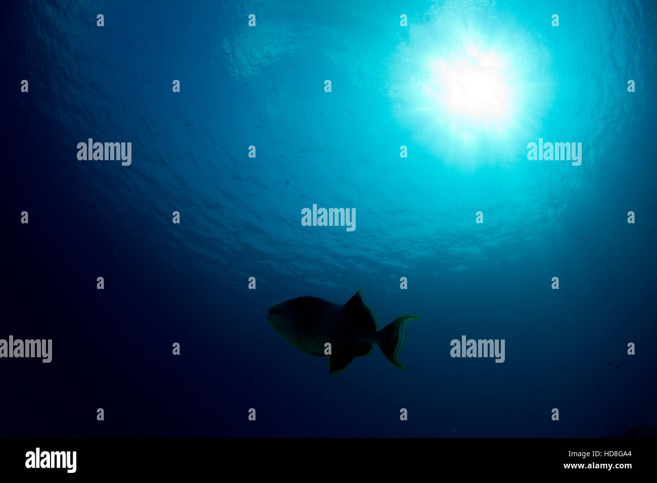 Blue water triggerfish silhouette under the sun. - Stock Image