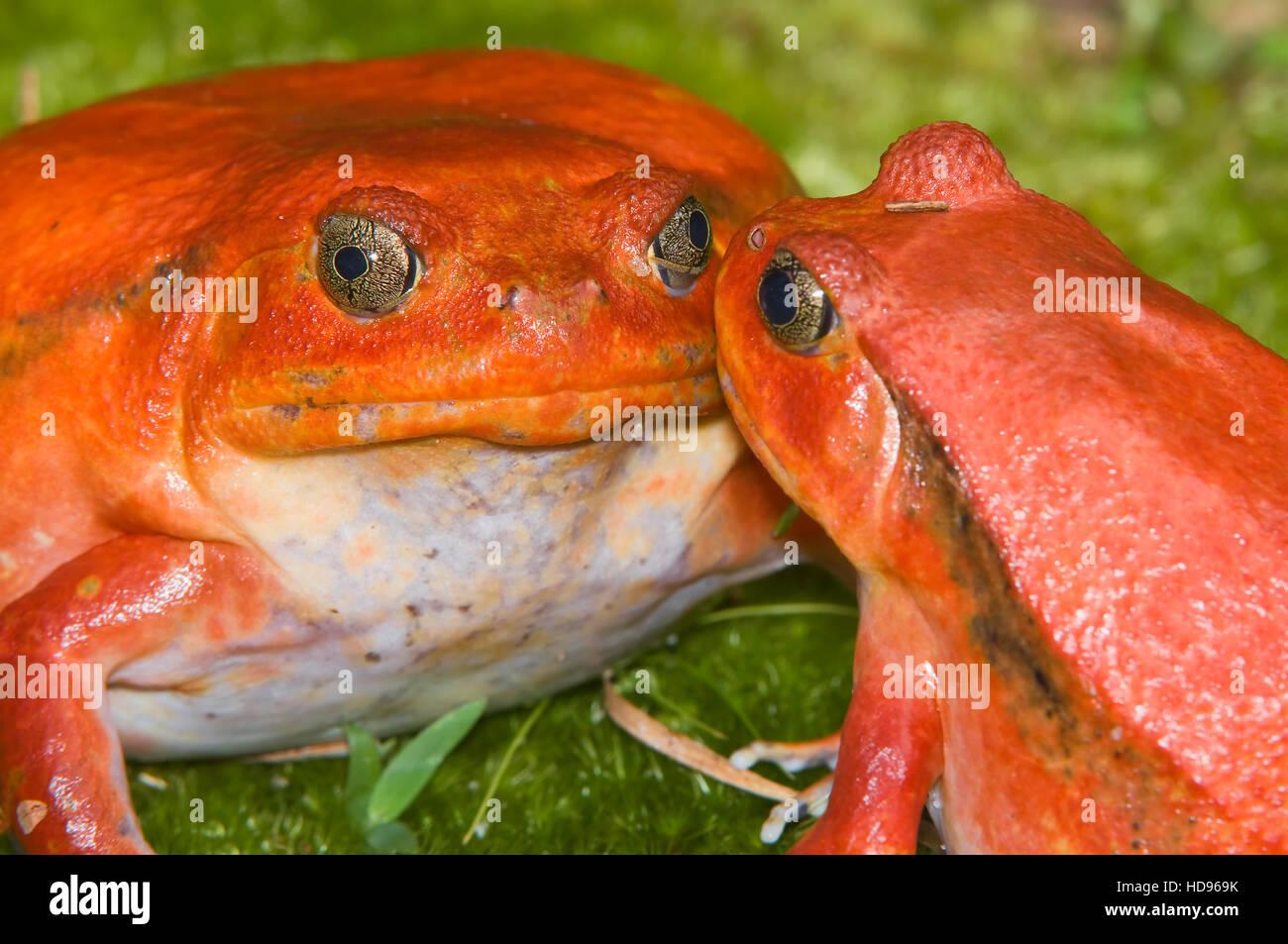 Couple of Tomato Frogs or Crapaud Rouge de Madagascar (Dyscophus antongilii), Madagascar - Stock Image