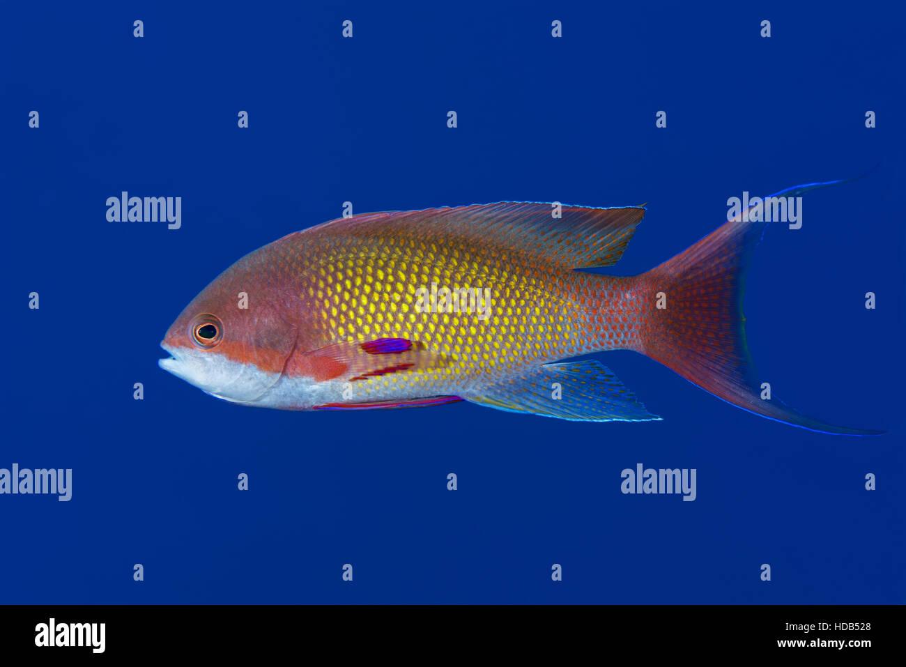 Male sea goldie,  lyretail coralfish, lyretail anthias or scalefin anthias (Pseudanthias squamipinnis) on the background - Stock Image