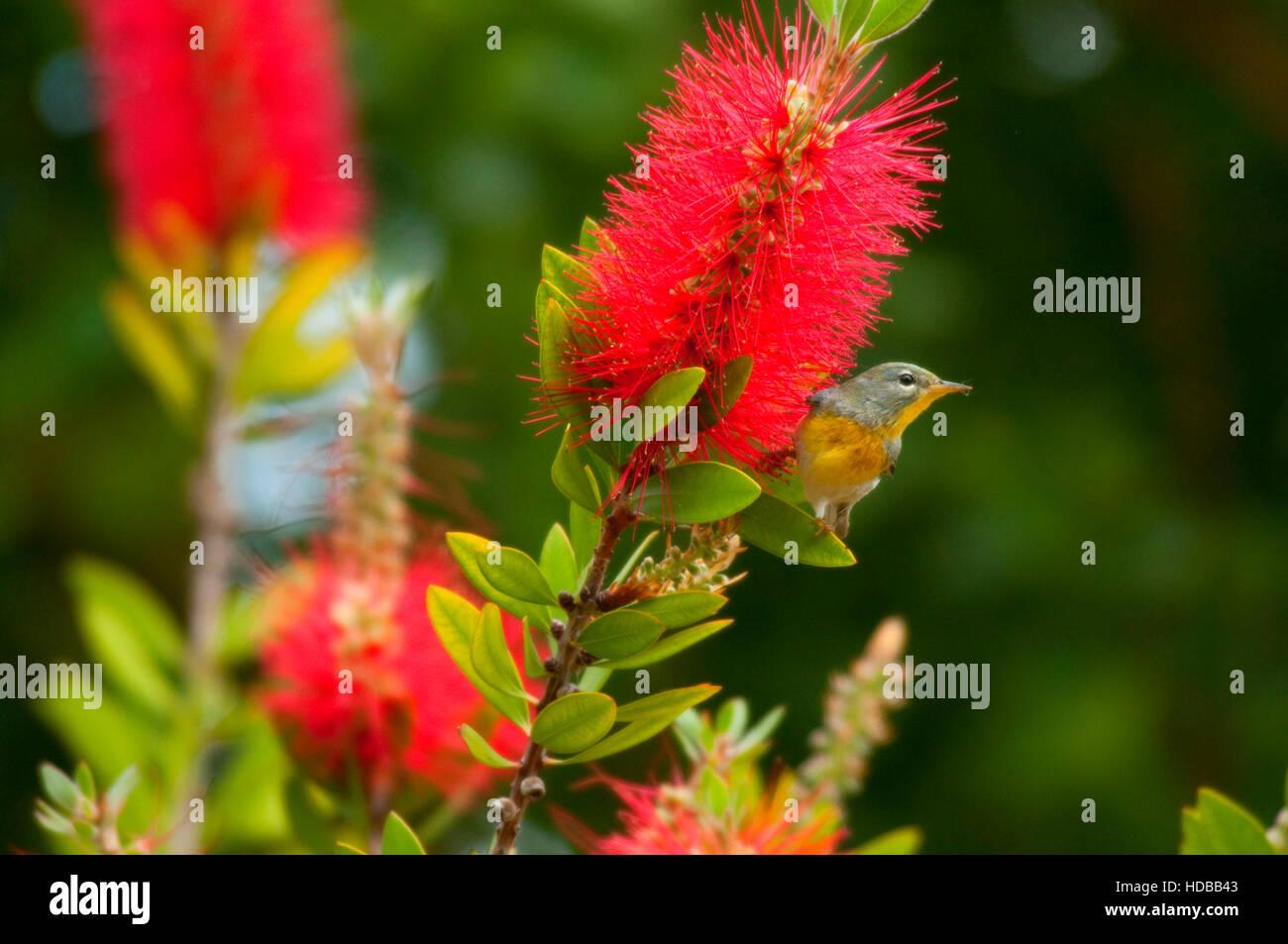 Northern Parula on bottlebrush tree, Leonabelle Turnbull Birding Center, Aransas Pass, Texas - Stock Image