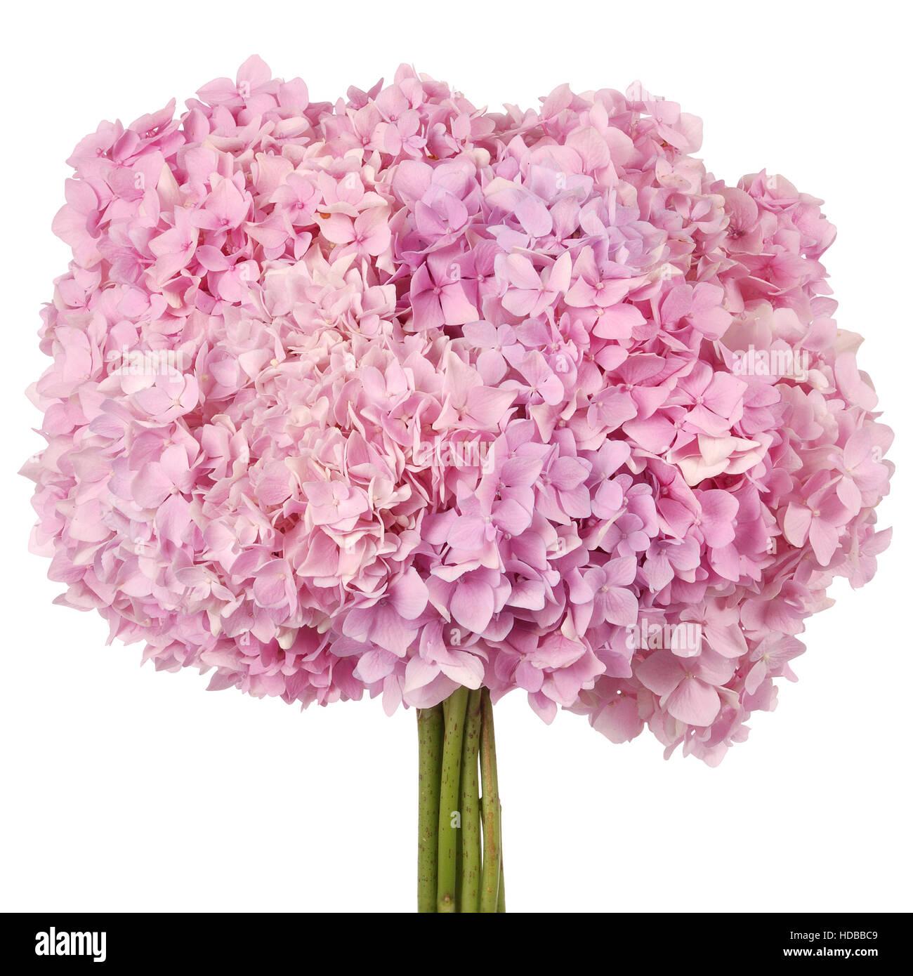 Pink flower hydrangea on white background clipping path inside pink flower hydrangea on white background clipping path inside mightylinksfo