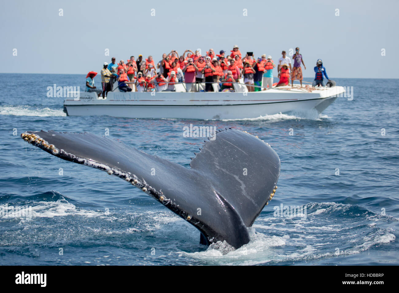 Humpback whale tail in Samana, Dominican republic and torist whale watching boat - Stock Image