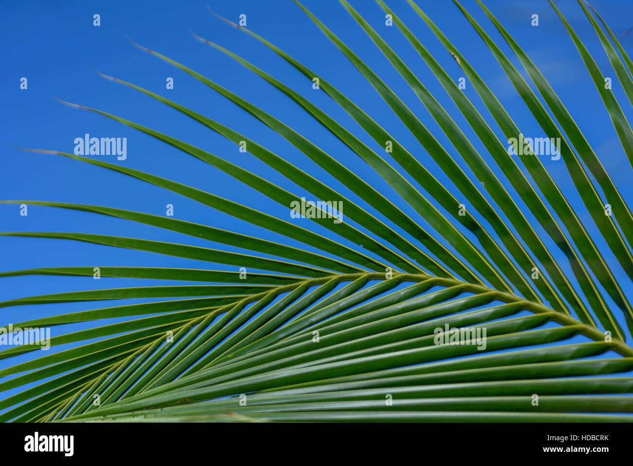 Bright green palm leaves / fronds are set against a blue sky on the caribbean island of Turks and Caicos | tropical - Stock Image