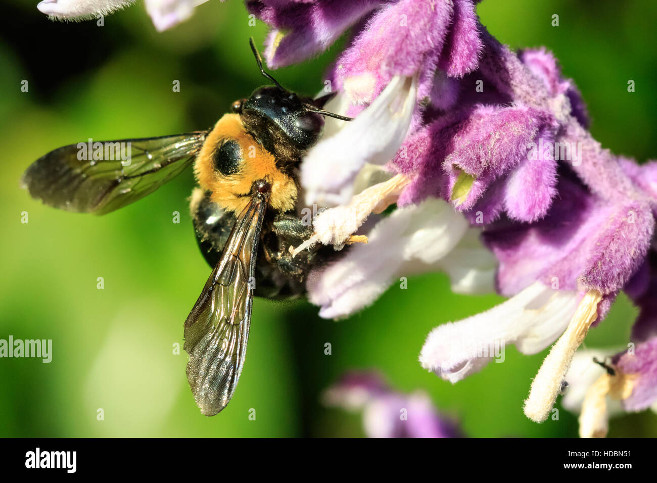 A larger bumble bee sitting on some backyard flowers. - Stock Image