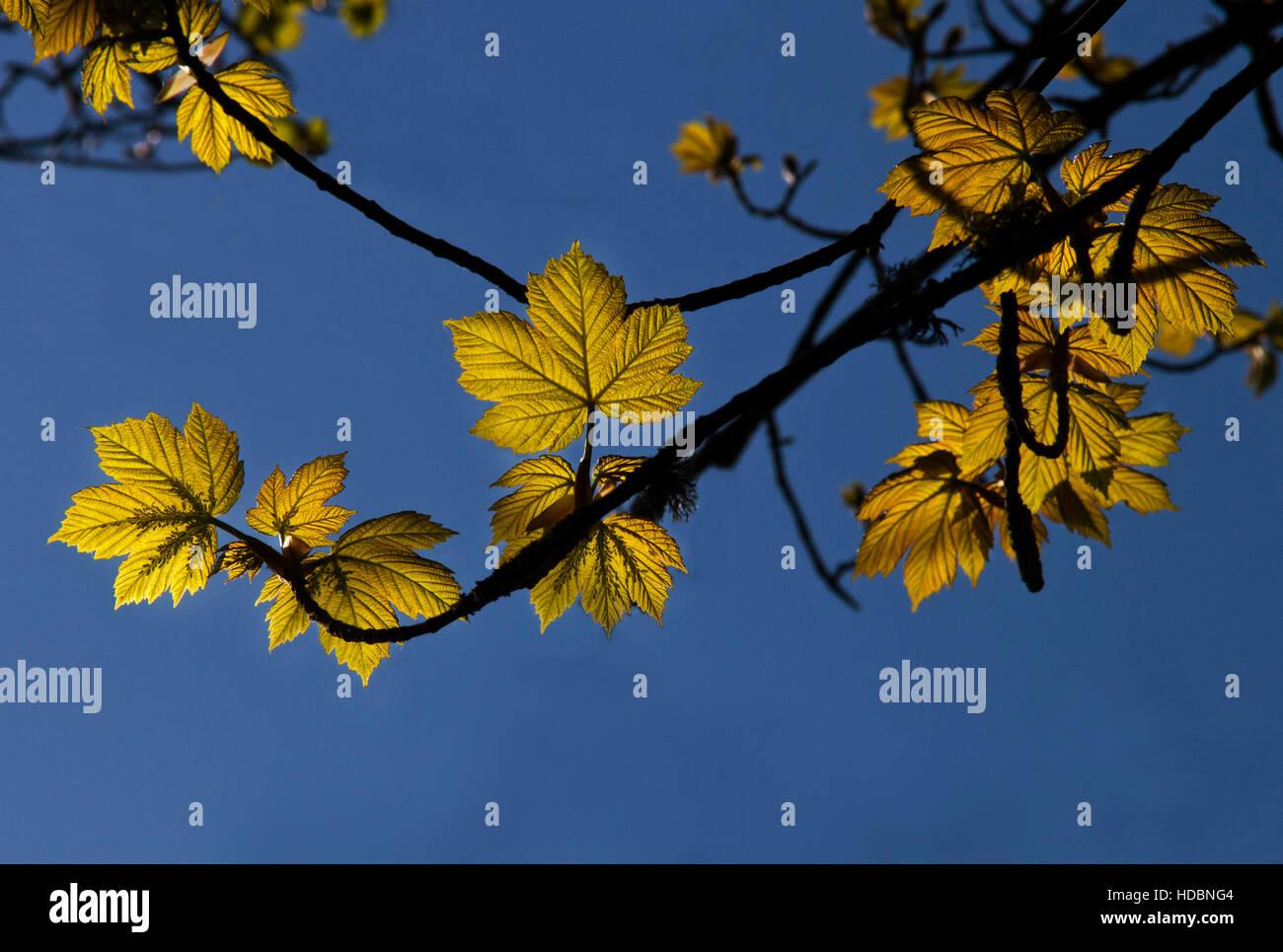 Backlit plane leaves showing leaf detail - Stock Image
