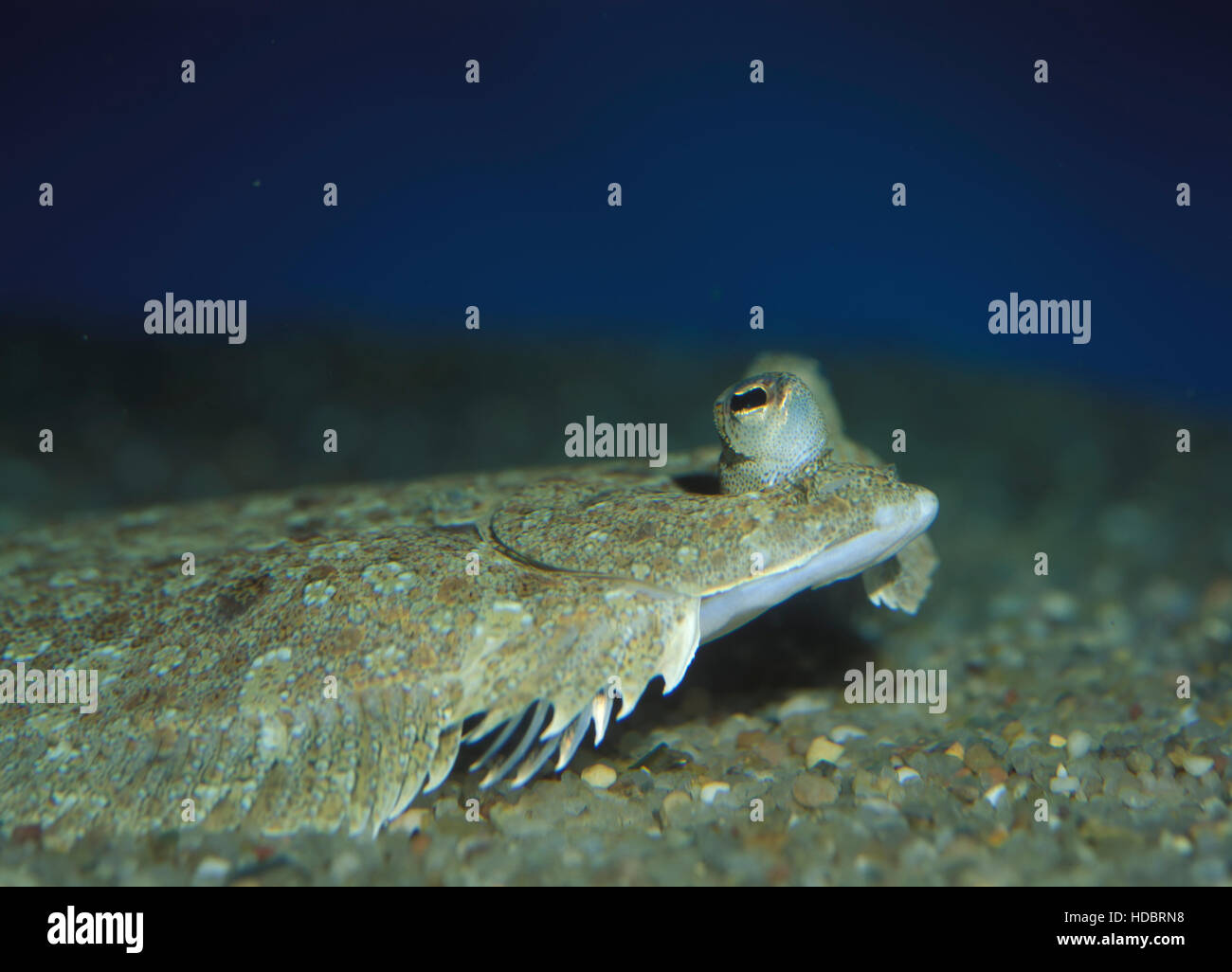 Wide-eyed flounder, Bothus podas maderensis. Head detail. Azores, Portugal - Stock Image