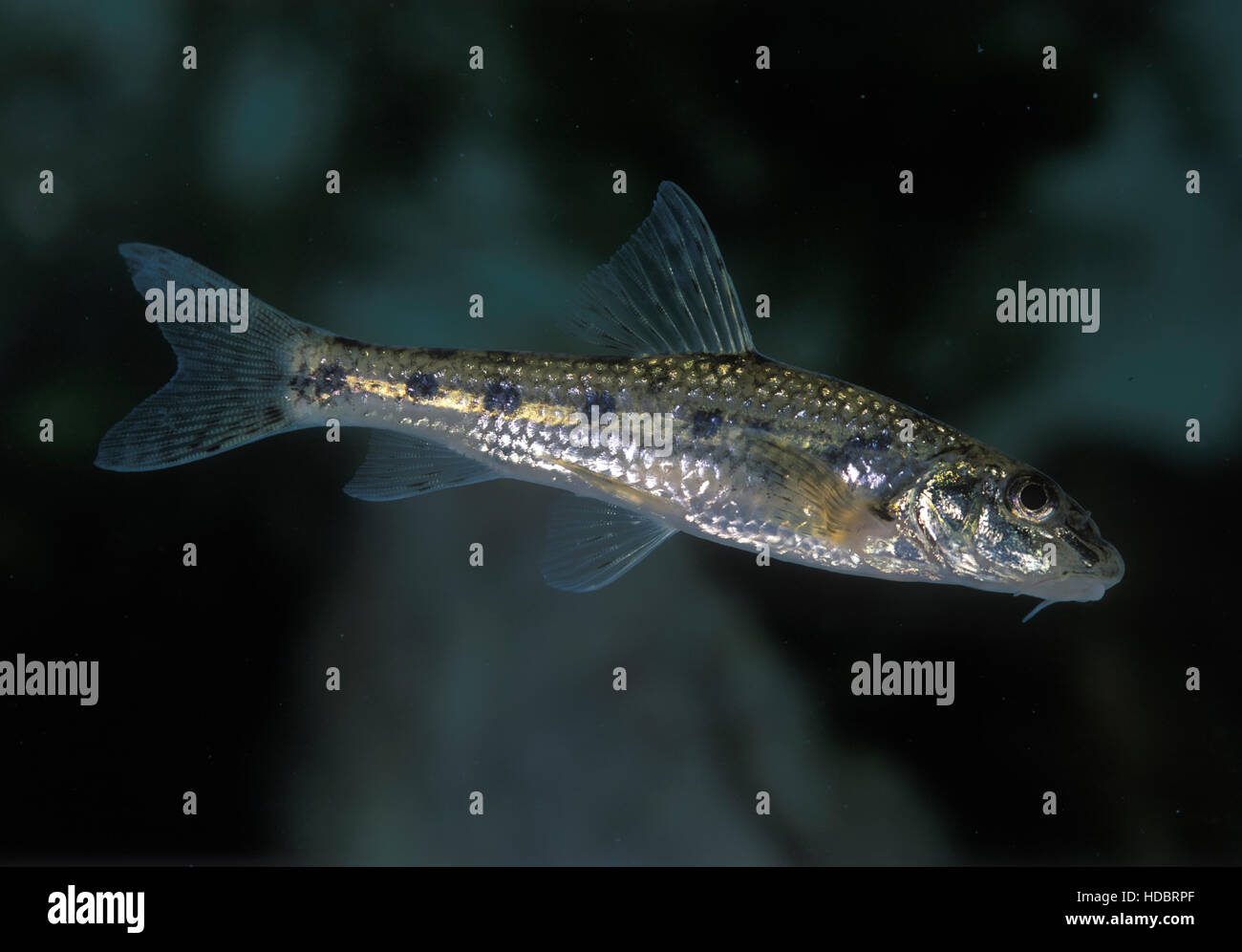 Iberian gudgeon, Gobio lozanoi. Young animal. Portugal. - Stock Image