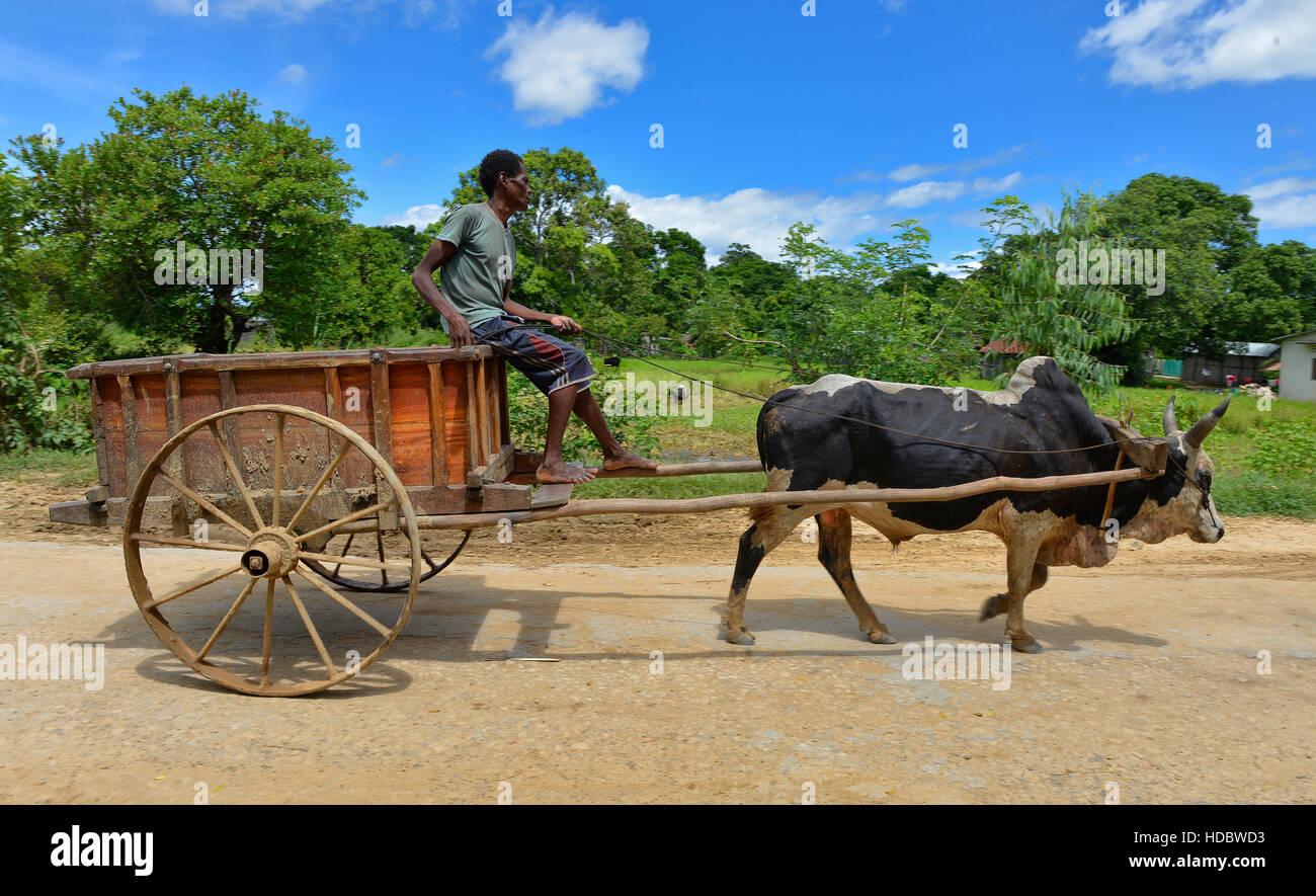 Cow Pulling Wagon : Zebu cattle bos taurus indicus pulling carts northwest