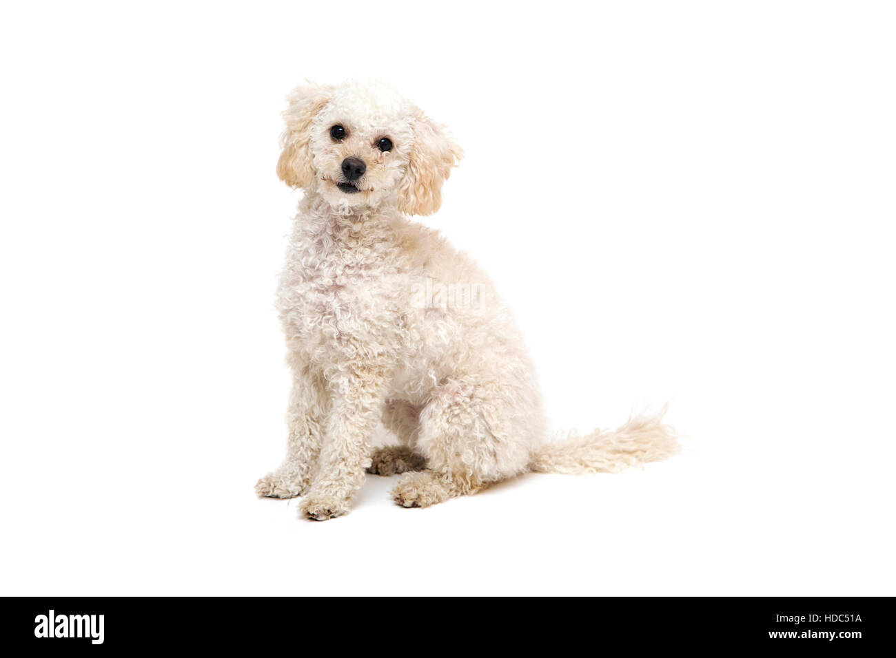 Cute little white poodle isolated on white - Stock Image