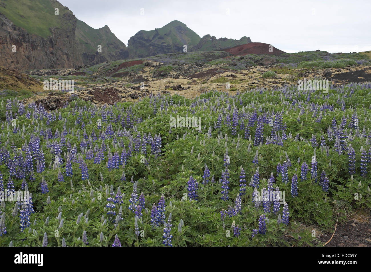 Wild lupins (Lupinus nootkatensis) growing on the flanks of Eldfell, which erupted in 1973, Heimaey, Iceland. - Stock Image