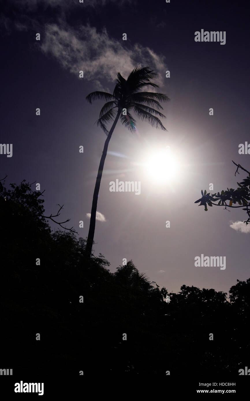 Palm tree. Lifuka island. Ha´apai islands. Tonga. Polynesia - Stock Image