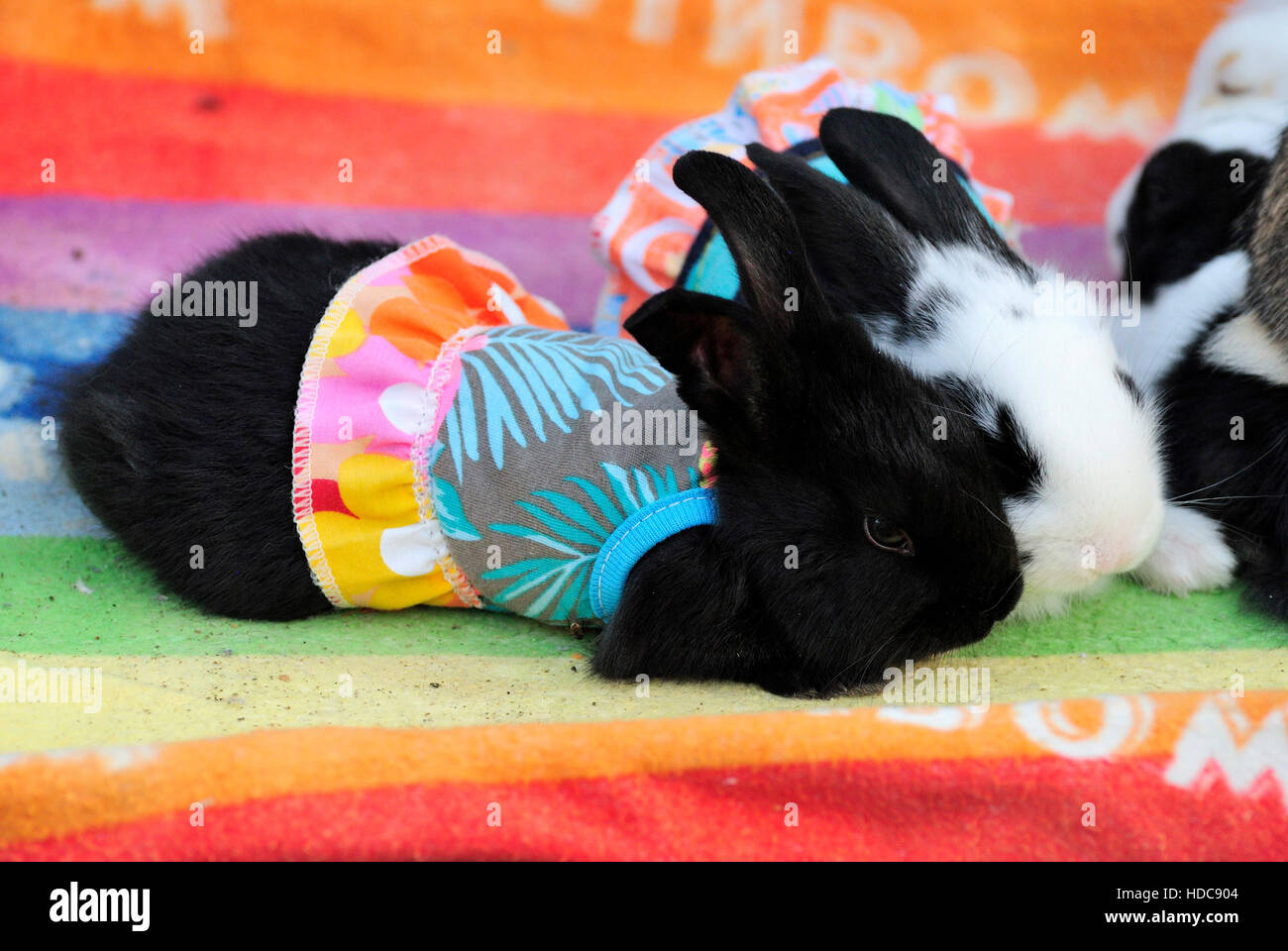 Rabbits dressed in colourful skirts at bird souq in Doha, Qatar. - Stock Image