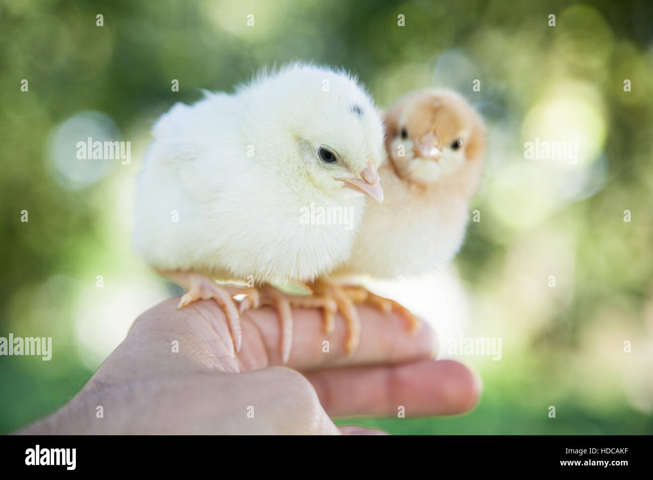 Cute little chicks - Stock Image