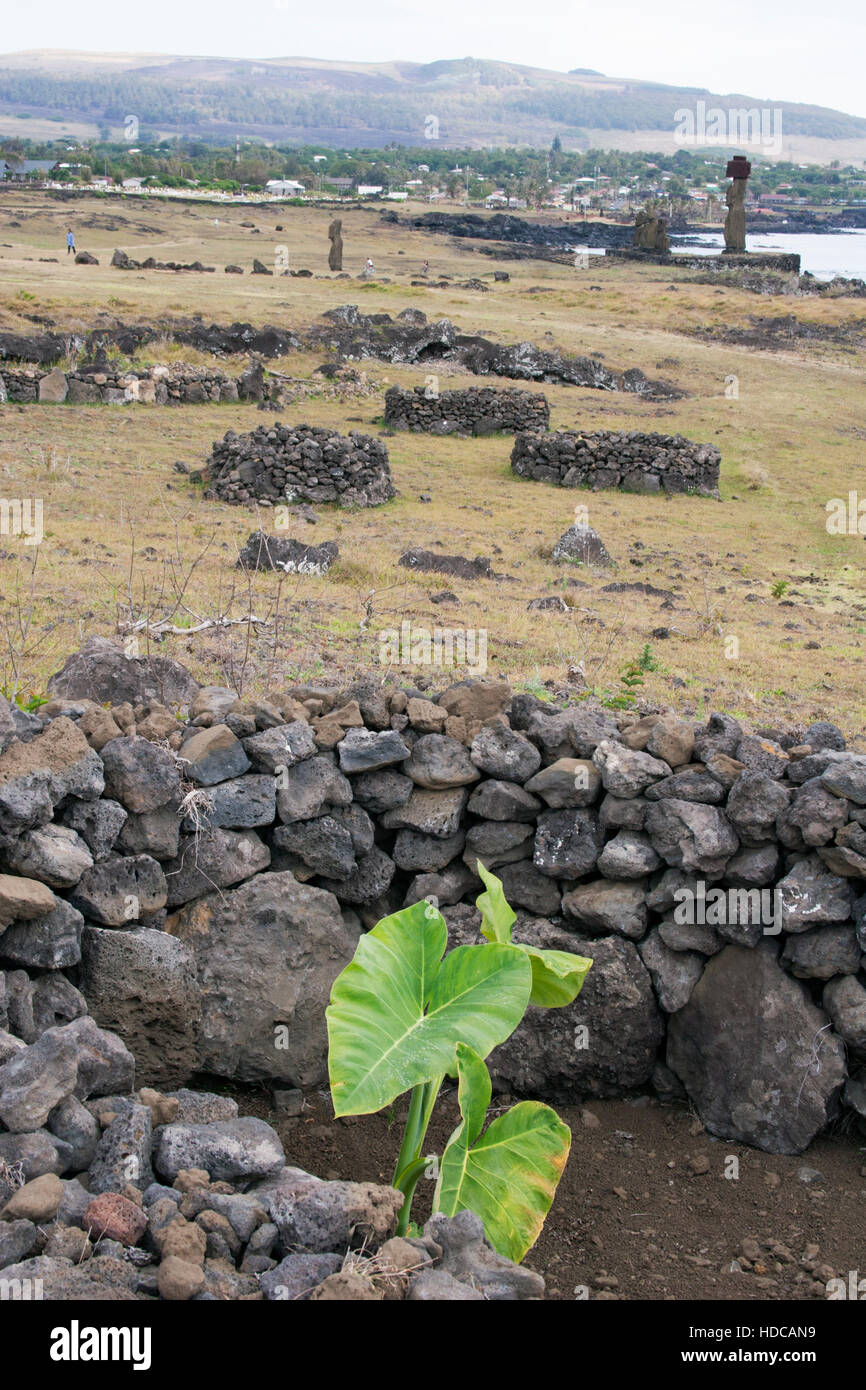 Manavai gardens, with taro plant (Colocasia esculenta) enclosed by lava rock walls to protect plants from wind and conserve moisture, Easter Island Stock Photo