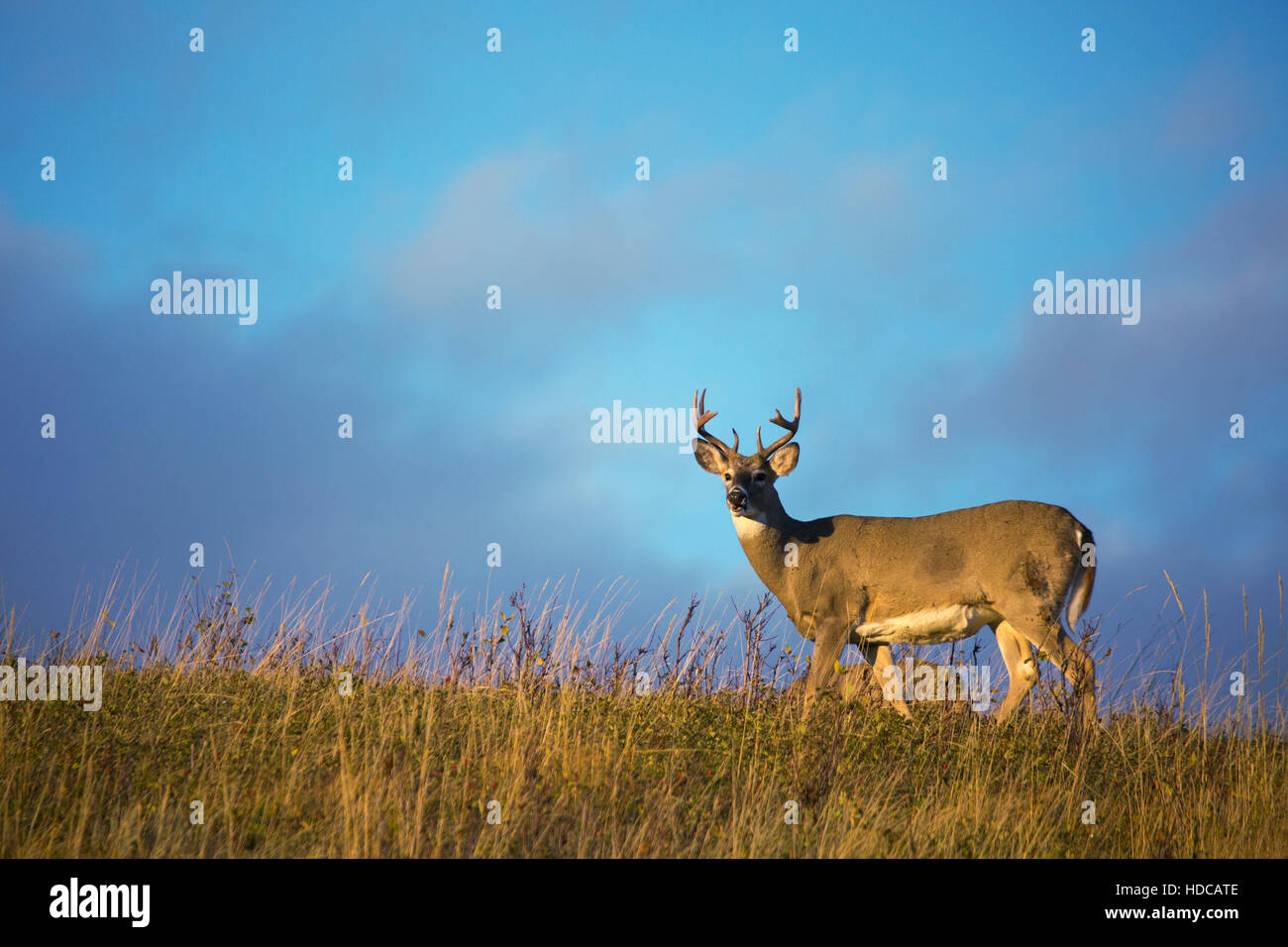 White-tailed Deer buck (Odocoileus virginianus) in Nose Hill park, city of Calgary. - Stock Image