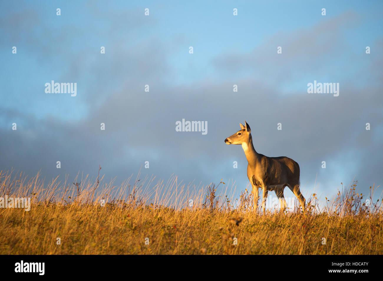 White-tailed Deer doe (Odocoileus virginianus) in Nose Hill park, city of Calgary. - Stock Image