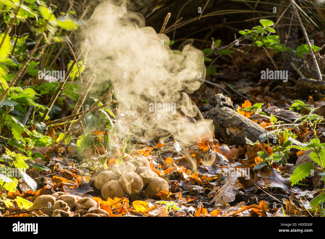 Common Puff-ball [Lycoperdon perlatum] emitting spores. November Stock Photo