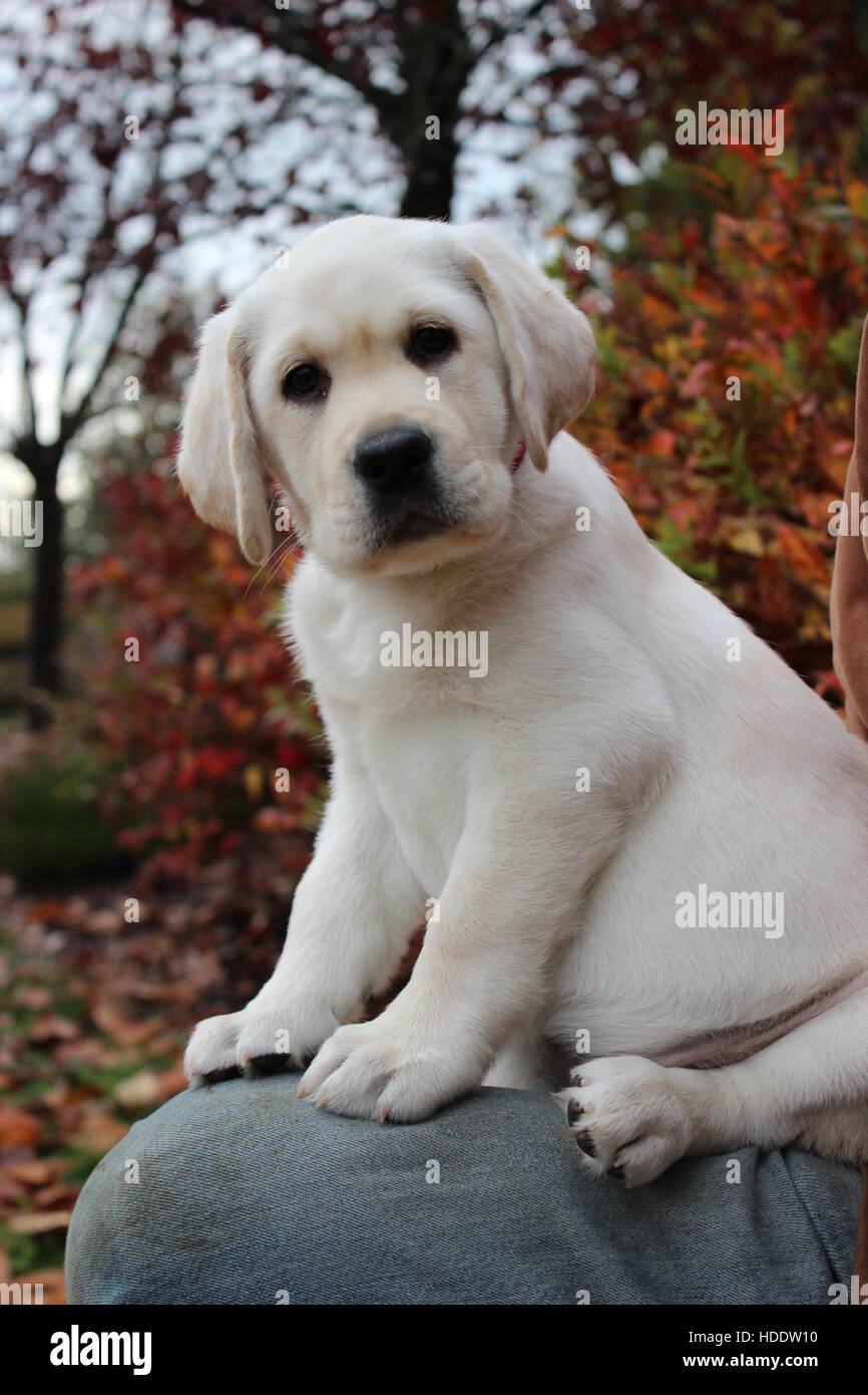 Yellow Lab Puppy Labrador Retriever Golden Cute Baby Stock Photo