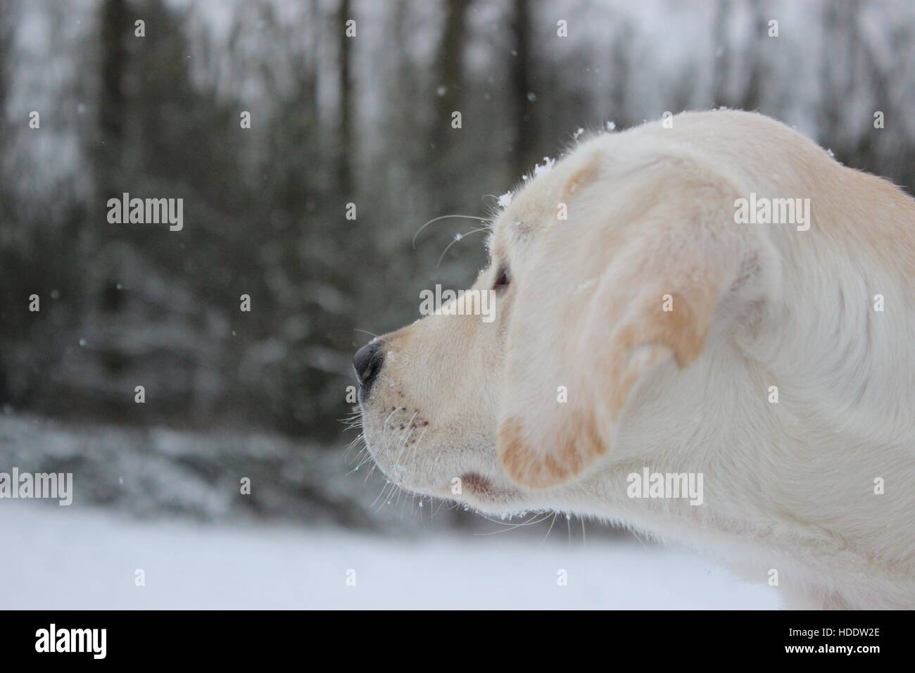 Lab Puppy Watching the Snow Fall - Stock Image