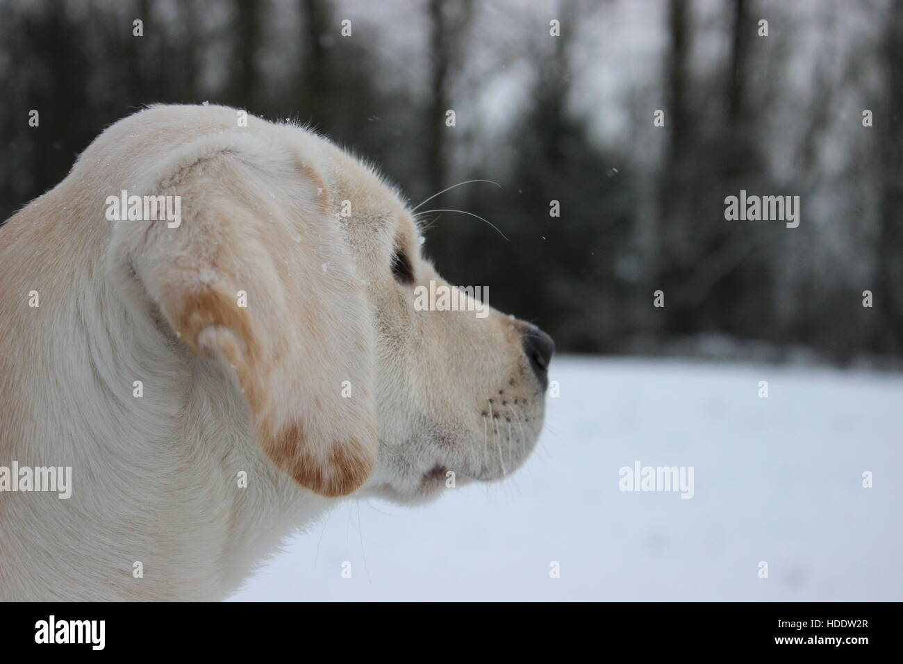 Yellow Lab Puppy Watching Snow Fall in Winter - Stock Image