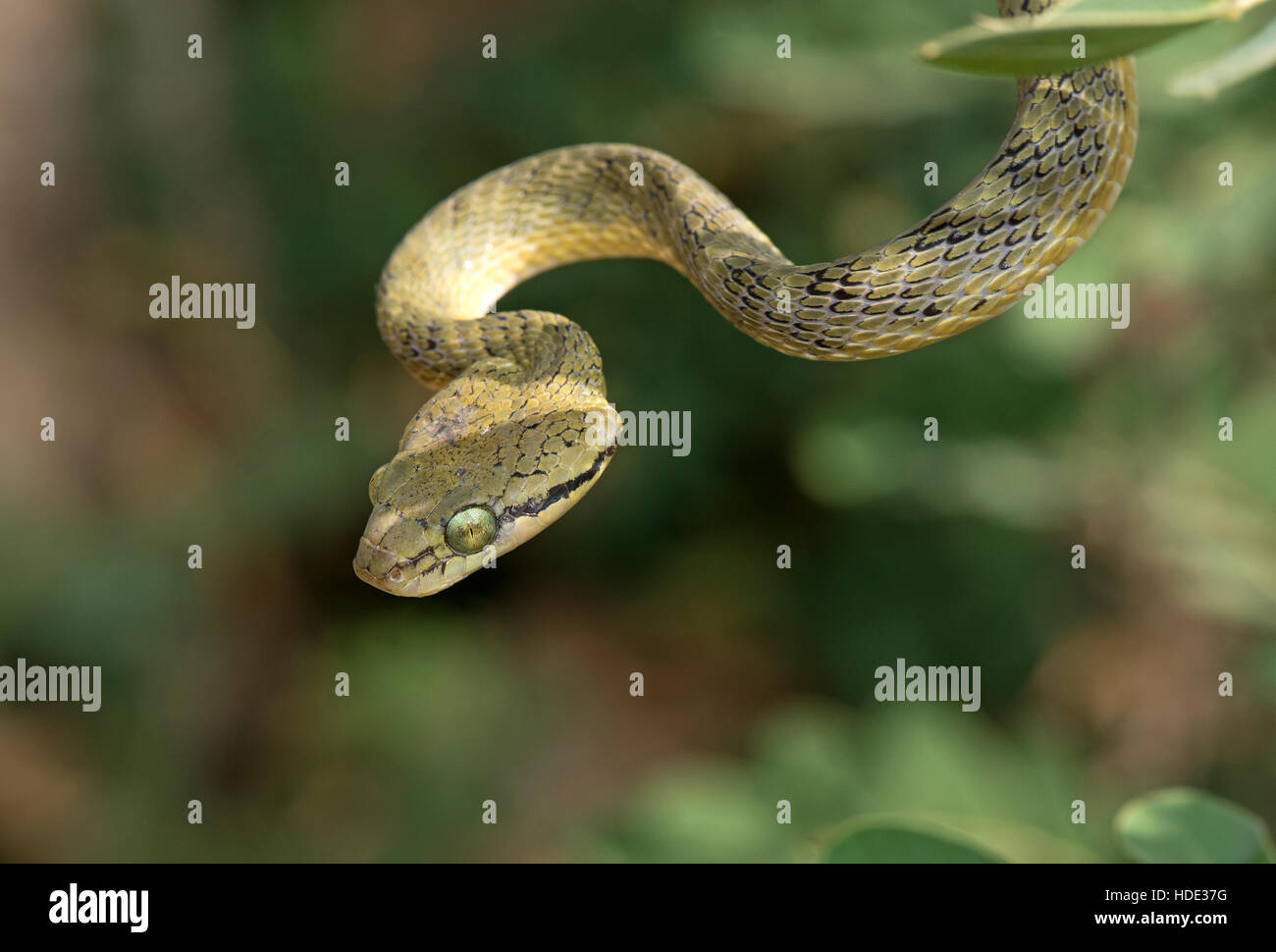 The image of yellow Green  cat Snake ( Boiga flaviviridis ) was taken in Hampi, Karnatka, India - Stock Image