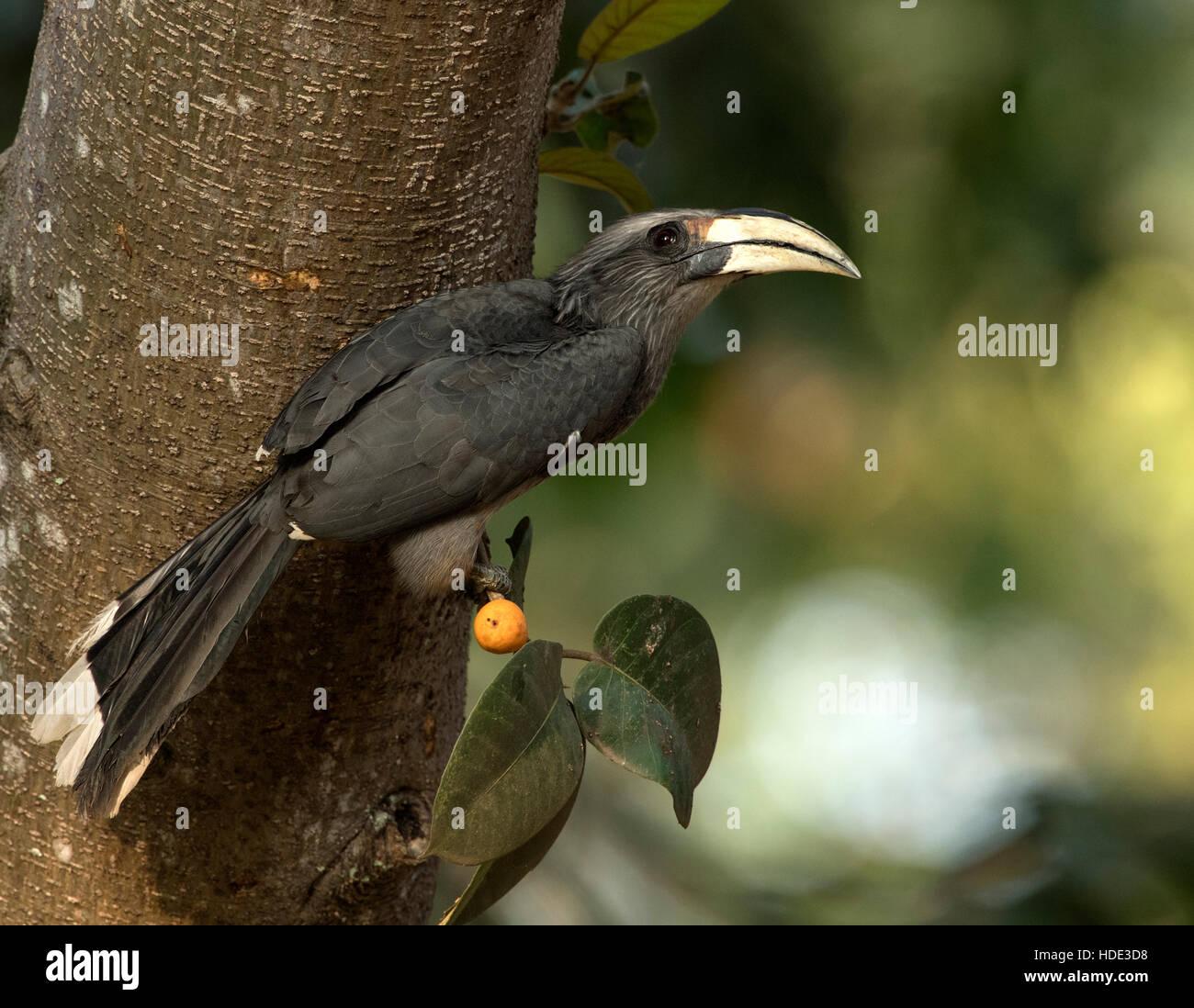 The image of Malabar Grey Hornbill (  Ocyceros griseus) was taken in Dandeli wildlife sanctuary, Karnatka, India Stock Photo