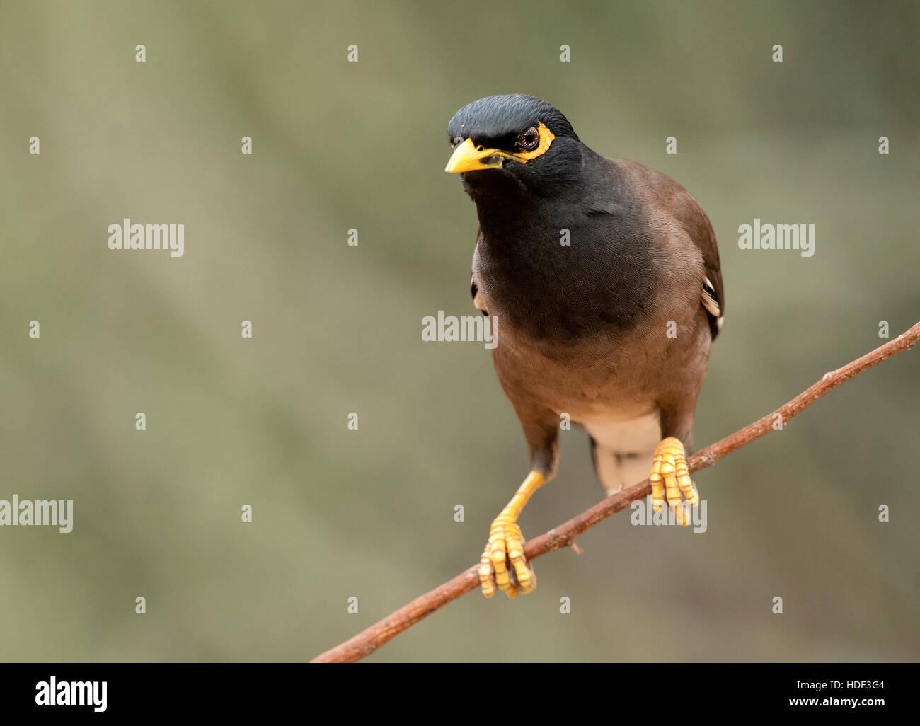 The image of  Common myna (Acridotheres tristis) in Daroji wildlife sanctuary, India - Stock Image