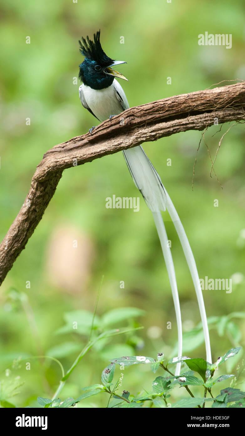 The image of  Paradise flycatcher (Terpsiphone paradisi)in Dandeli wildlife sanctuary, Karnatka, India Stock Photo