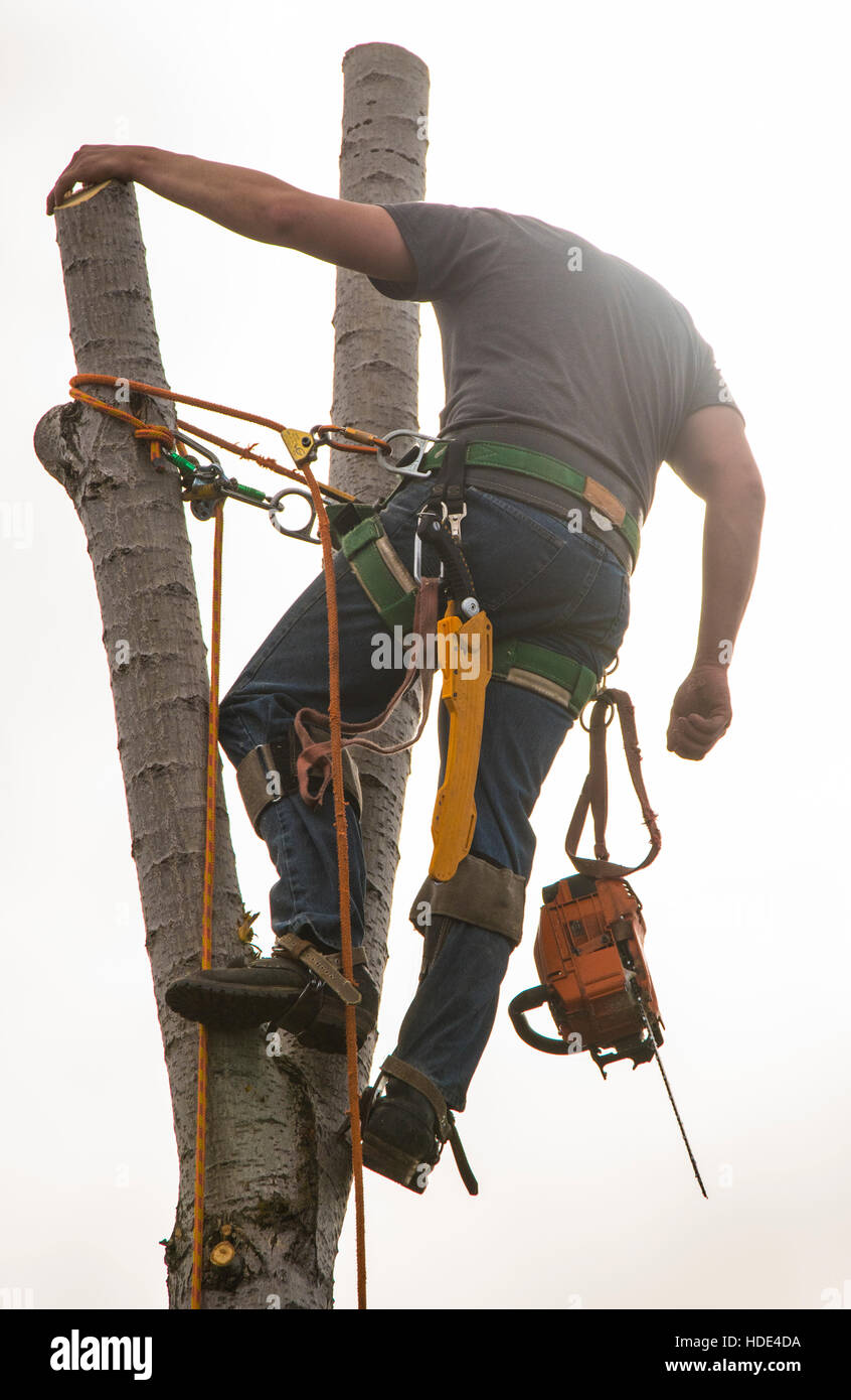 Tree Trimmer with chain saw sawing cottonwood tree in outdoors. USA - Stock Image
