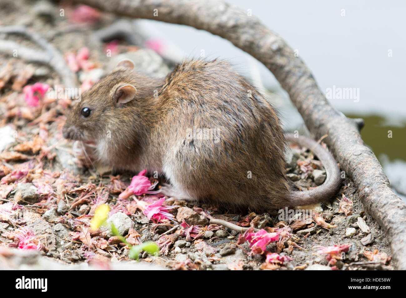 Wild Brown Rat - Rattus norvegicus - Stock Image