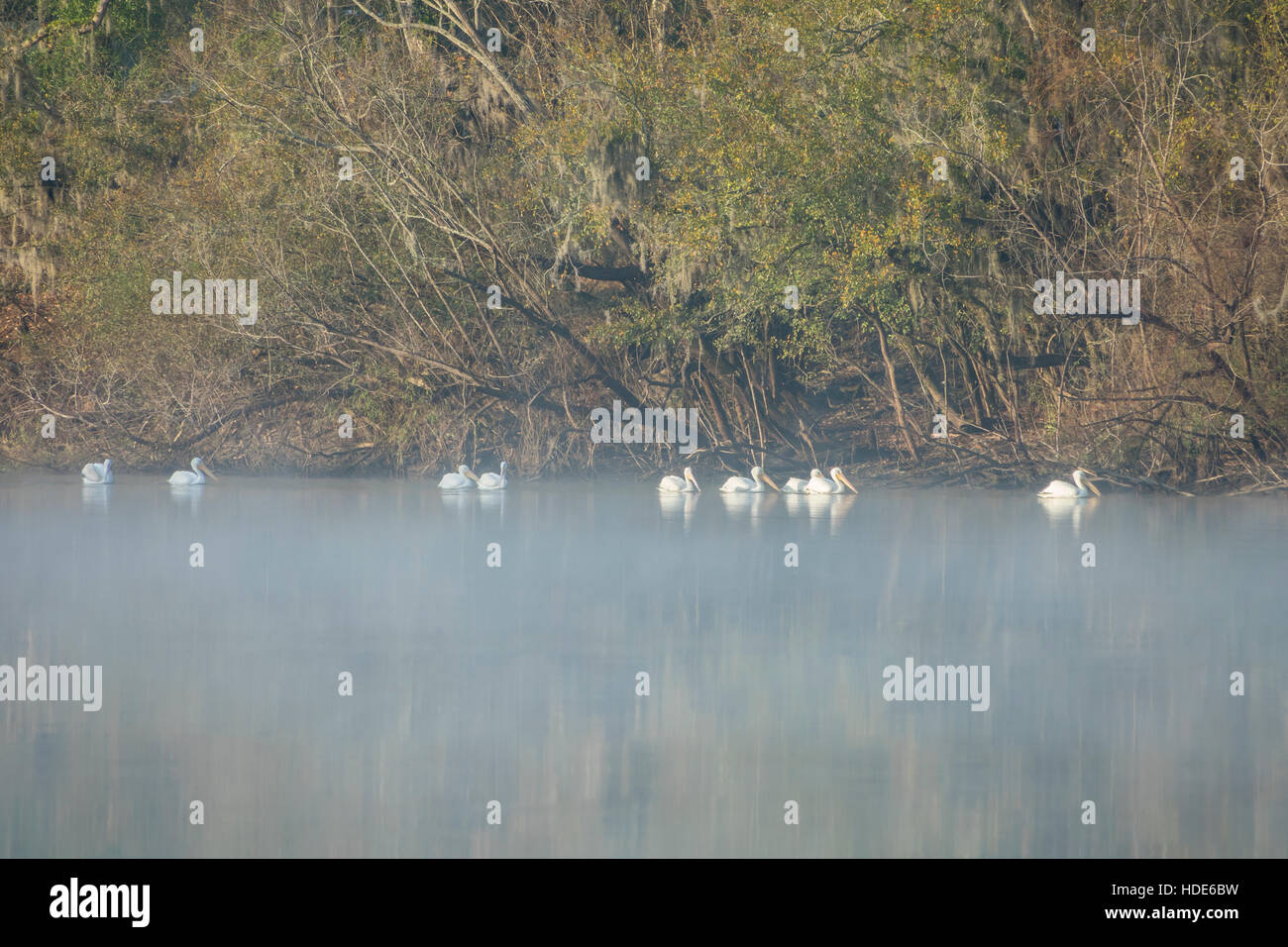 White Pelican birds swimming up the Suwanee River in early morning fog. - Stock Image