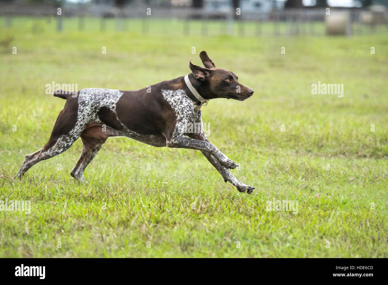 Grman Shorthaired Pointer running in grass - Stock Image