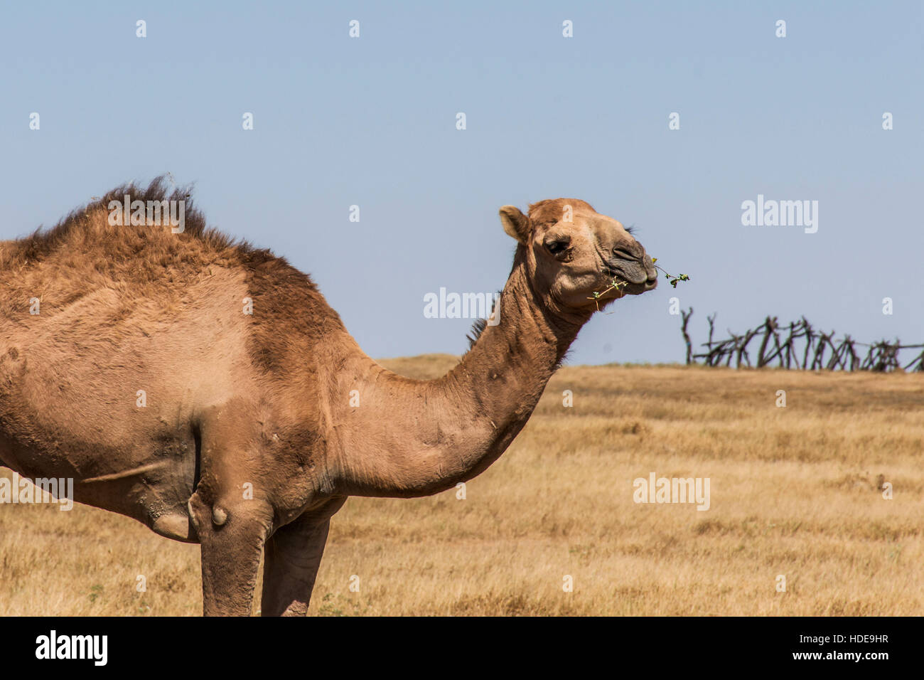 wildlife Camel looking inside Camera in Oman salalah landscape Arabic 2 - Stock Image