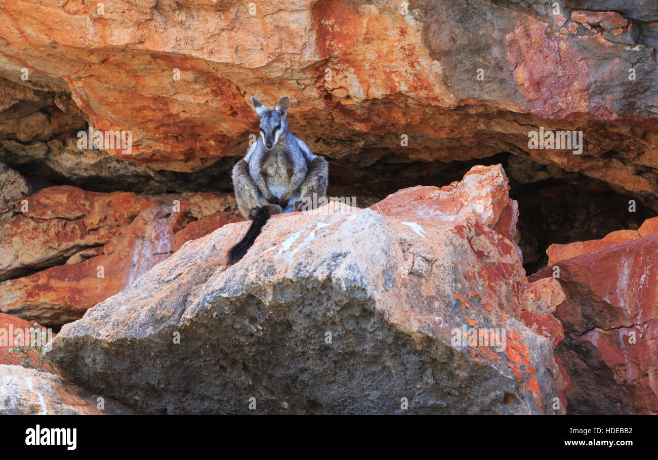 Petrogale lateralis, commonly know as a black-footed or black-flanked rock wallaby. Yardie Creek, Cape Range National - Stock Image