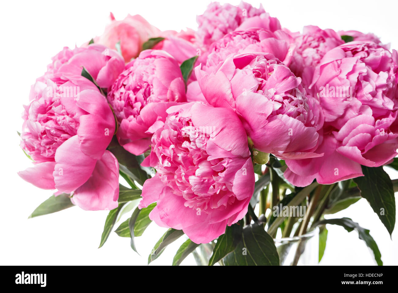 Fresh Bright Blooming Peonies Flowers On White Background And Pink